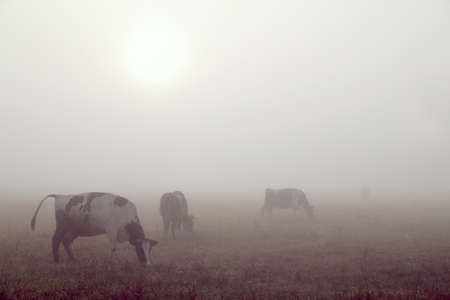 Blurry silhouettes of cows grazing in a meadow at sunrise in the fog. milk landscape
