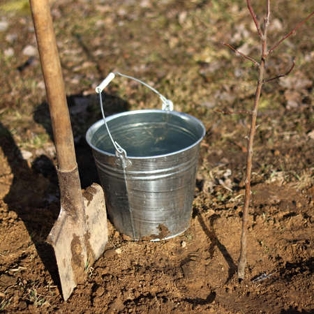 fruit tree sapling with a shovel and a bucket full of water. Spring works in the garden