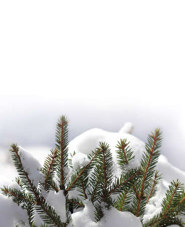 evergreen spruce branches in a snowdrift. winter background for inscriptions