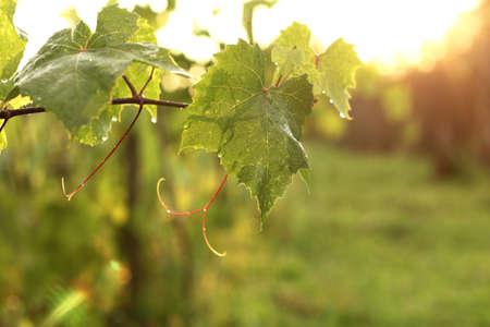 green leaves on a vine with drops after rain at sunset. spring in the vineyard Zdjęcie Seryjne