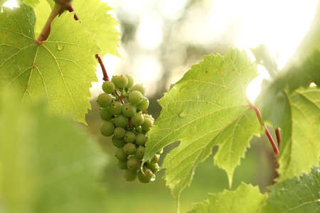 bunch of unripe berries in green leaves after rain. young vineyard