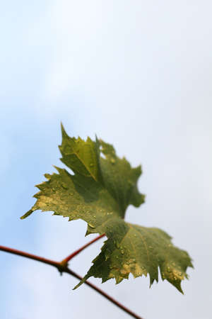 green leaf on a vine with drops after rain on the background of the sky. life-giving moisture to the harvest Zdjęcie Seryjne