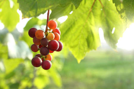 a bunch of grapes with berries ripening in the sun. warm summer in the vineyard Zdjęcie Seryjne