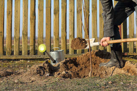 cherry seedling and gardener with a shovel of earth, watering can in the garden. planting fruit trees