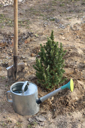 freshly planted small tree with a shovel and a watering can in the garden. need for watering after planting Zdjęcie Seryjne