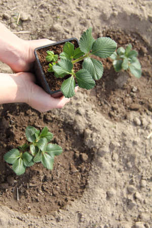 strawberry seedlings in a pot in the hands of a gardener against the background of already planted bushes in the garden top view. growing berry crops in the garden