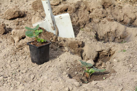 strawberry bushes in a pot and in the ground against the background of a shovel in the garden. planting seedlings in the garden Zdjęcie Seryjne
