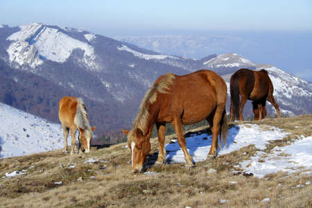 Chevaux au pâturage élevé à la montagne