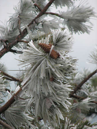 view of ice-cowered fir-needles and cone Stock Photo - 817694