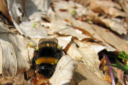 sleepy bumblebee sitting on the ground at early spring  photo