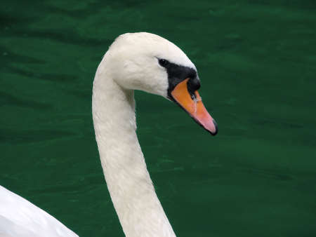 swan looking at the object-glass of camera Stock Photo - 817708