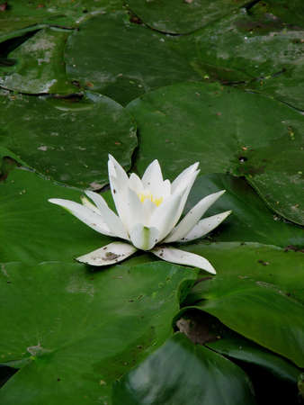 waterlillies: view of white water-lily and leafs around it