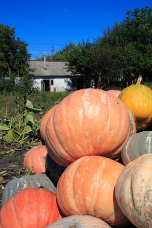 Lot of orange pumpkins piled up with rural house at background photo