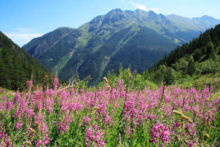 mountain landscape with pink flowers. Dombai, Caucasus, Russia photo