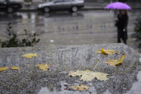 dampness: saturated maple leaves and people with umbrellas walking in the rain