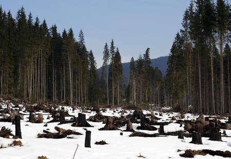 stump of fallen forest trees. Destruction human activity Stock Photo - 2676920
