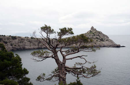 alone tree at the sea coast with the rocky cape in the distance Stock Photo - 3117632