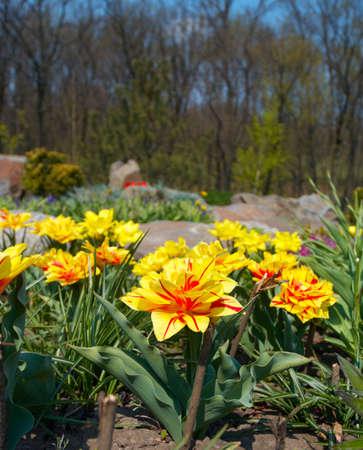 grassplot: yellow tulips growing at the gardgen  Stock Photo