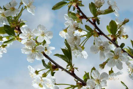 flowered: flowered tree - plum-tree