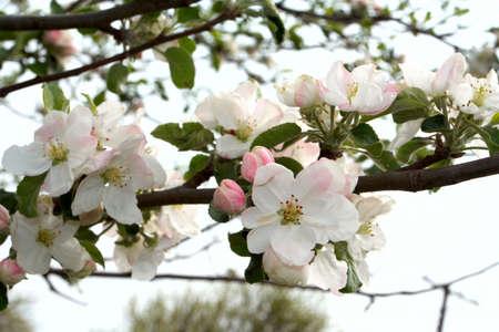 flowered: flowered tree - apple-tree  Stock Photo