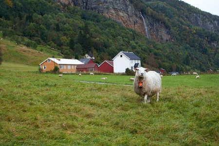 ewes: ewes on a pasture