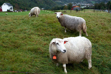 ewes on a pasture  photo