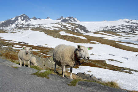 ewes: ewes at the norwegian mountains