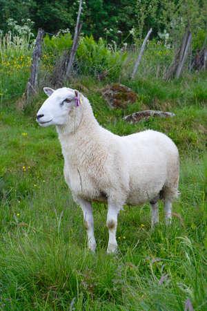 ewe: ewe on a pasture