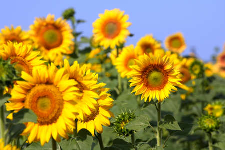 Feld mit einer Menge von gelben Sonnenblumen. Standard-Bild - 10497117