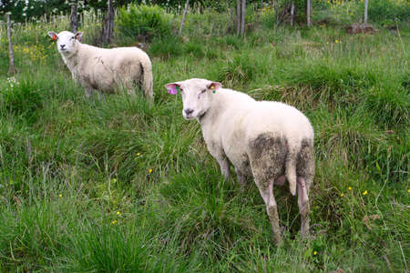 two ewes on a pasture looking at the camera  photo