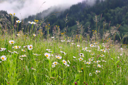 daisy meadow  and mountains in the background  photo