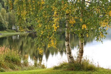 birch growing on a lake coast , norway  photo