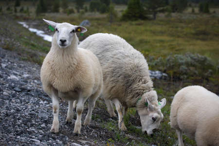 ewes: ewe with lamb on a road