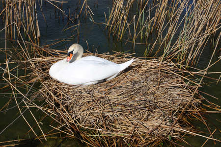swan sitting at its nest on a water  photo