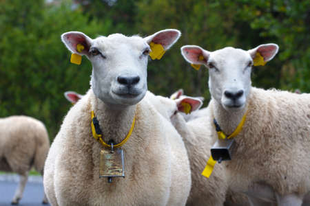 ewes: ewes on a pasture looking at the camera