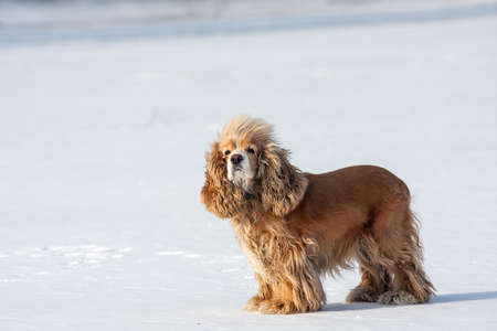 snowfield: beautiful cocker spaniel at the snowfield Stock Photo