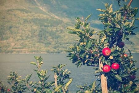 albero di mele: albero di mele con mele e una splendida vista sullo sfondo. Norvegia Archivio Fotografico