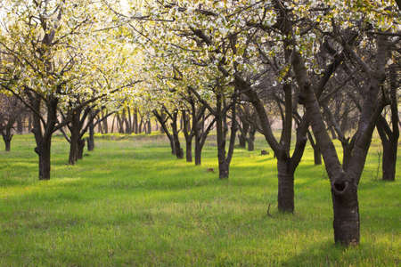 arbres fruitier: rows of blooming fruit trees growing at the old garden