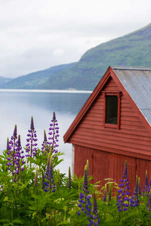lupines: traditional norwegian red house and lupines on a fjord coast Stock Photo