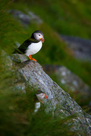 puffins: well known north birds puffins at the norwegian island Runde