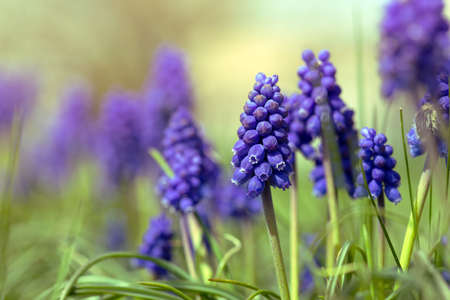hyacinths: hyacinths bloom in the garden, close-up Stock Photo
