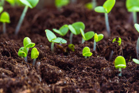 sprout: basil sprouts have sprouted in the ground