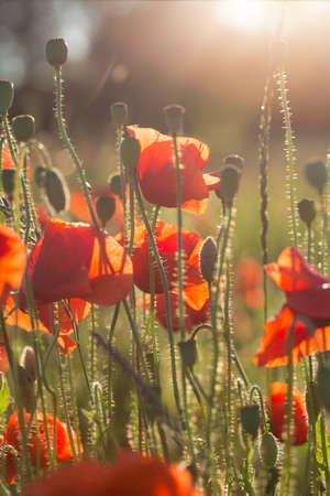 flowers sun: beautiful poppy field in sunset time