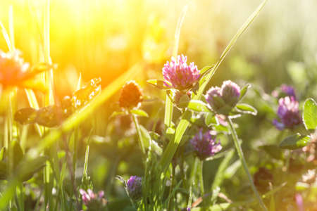 flowers of clover and grass in the sun, norway Stock Photo