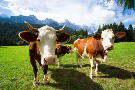 cows on a green pasture with beautiful mountains behind Stock Photo