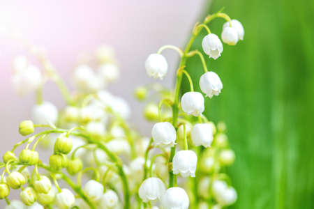 background of lilies of the valley  Stock Photo
