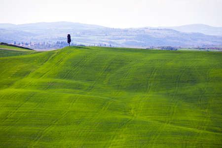 green waves. typical Tuscan landscape - view of a hill, lone tree on the slope and green fields at sunny day. province of Siena. Tuscany, Italy Stock Photo