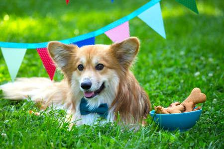 compleanno off bella corgi fluffy sul prato verde e bandiere partito colorato sullo sfondo Archivio Fotografico