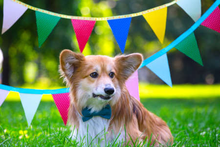 birthday off beautiful corgi fluffy on green lawn and colorful party flags on the background