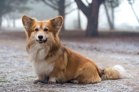 very beautiful corgi fluffy dog on a walk in the park